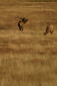 """Fall is an """"energy expensive"""" season for bull Elk; They must guard their harems, battle other bulls, and also mate [October; Yellowstone National Park, Wyoming]"""