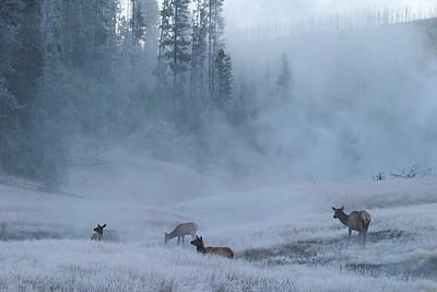 Elk in Frosty Field 768_6844