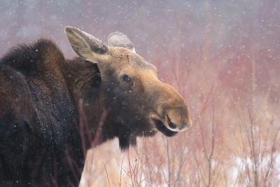 Moose cow yearling in snow Blue Spruce Road Sax-Zim Bog MN DSC02590
