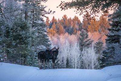 Moose pair bulls Sawbill Trail Cook County MN  IMGC7134