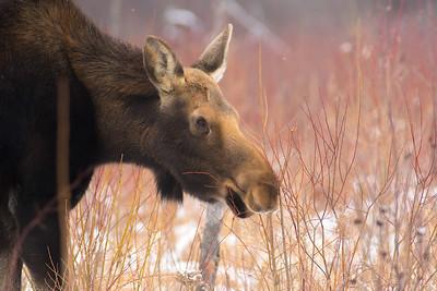 Moose cow yearling in snow Blue Spruce Road Sax-Zim Bog MN DSC02539