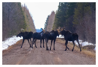 Moose group frame capture from video Stony River Forest Road Superior National Forest Lake County MN P1044014-2 copy