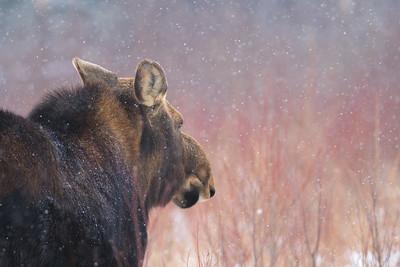 Moose cow yearling in snow Blue Spruce Road Sax-Zim Bog MN DSC02593