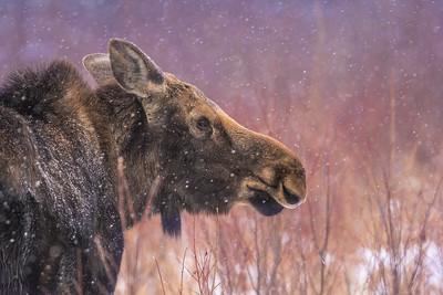 Moose cow yearling in snow Blue Spruce Road Sax-Zim Bog MN DSC02586