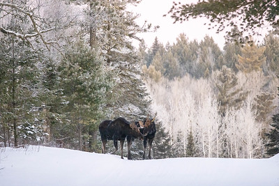 Moose pair bulls Sawbill Trail Cook County MN  IMGC7045