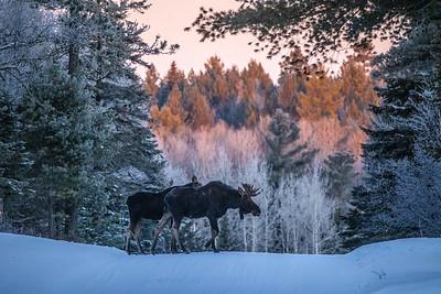 Moose pair bulls Sawbill Trail Cook County MN  IMGC7143