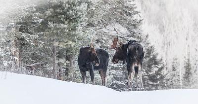 Moose pair bulls Sawbill Trail Cook County MN IMG_7074