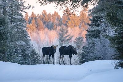 Moose pair bulls Sawbill Trail Cook County MN  IMGC7170