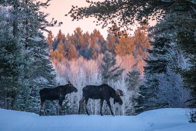 Moose pair bulls Sawbill Trail Cook County MN  IMGC7147