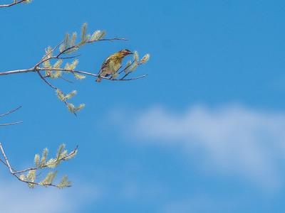 Cape May Warbler warbler wave Moose Lake Sewage Ponds road Carlton County MN  P1066744