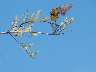 Cape May Warbler warbler wave Moose Lake Sewage Ponds road Carlton County MN  P1066746