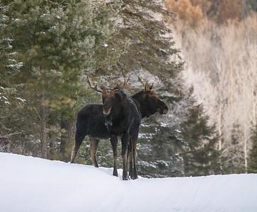 Moose pair bulls Sawbill Trail Cook County MN  IMGC7076