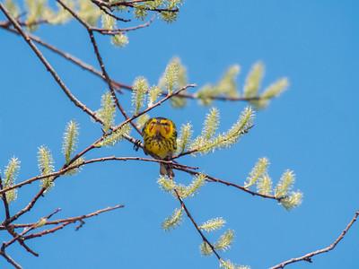 Cape May Warbler warbler wave Moose Lake Sewage Ponds road Carlton County MN  P1066694