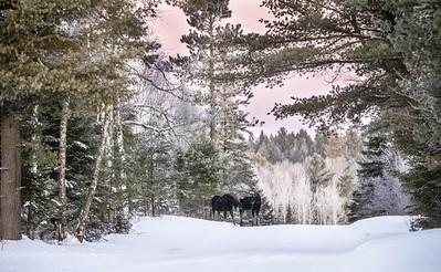 Moose pair bulls Sawbill Trail Cook County MN  IMGC7030