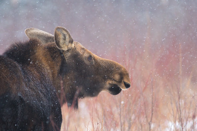 Moose cow yearling in snow Blue Spruce Road Sax-Zim Bog MN DSC02582