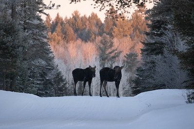 Moose pair bulls Sawbill Trail Cook County MN  IMGC7166
