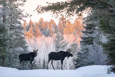 Moose pair bulls Sawbill Trail Cook County MN  IMGC7152