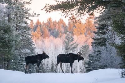 Moose pair bulls Sawbill Trail Cook County MN  IMGC7150