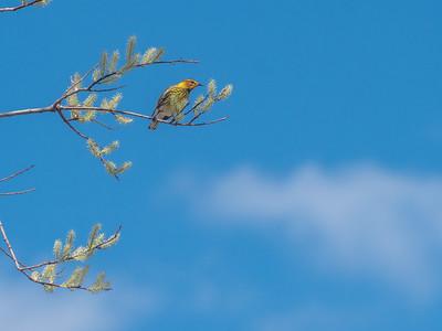 Cape May Warbler warbler wave Moose Lake Sewage Ponds road Carlton County MN  P1066745