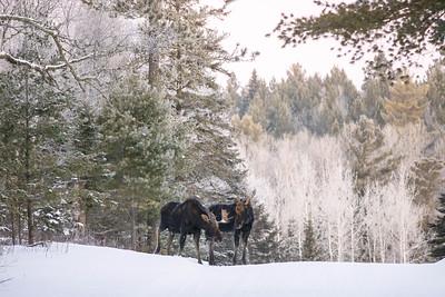 Moose pair bulls Sawbill Trail Cook County MN  IMGC7044