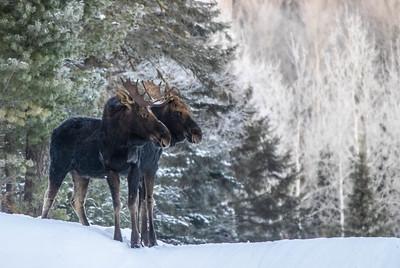Moose pair bulls Sawbill Trail Cook County MN  IMGC7093