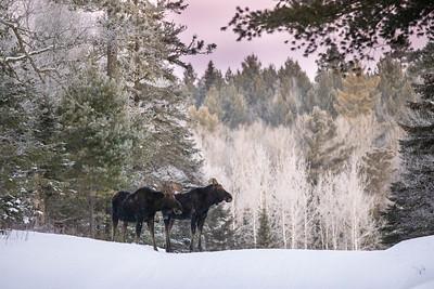 Moose pair bulls Sawbill Trail Cook County MN IMGC7037