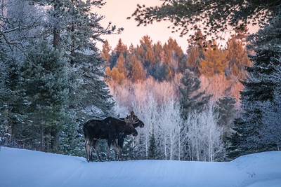 Moose pair bulls Sawbill Trail Cook County MN  IMGC7139