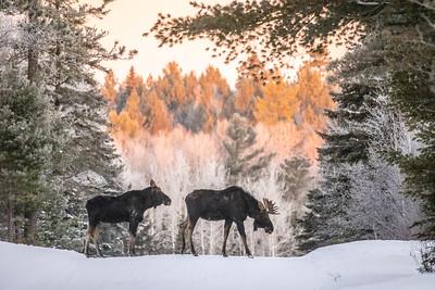 Moose pair bulls Sawbill Trail Cook County MN  IMGC7149