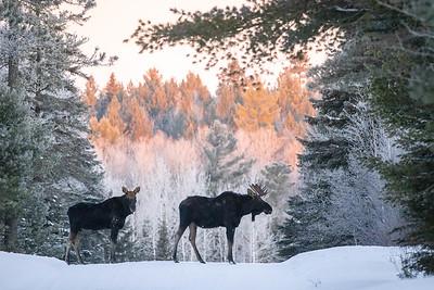 Moose pair bulls Sawbill Trail Cook County MN  IMGC7155