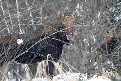 Moose two Arkola Rd Sax-Zim Bog MN IMG_1454