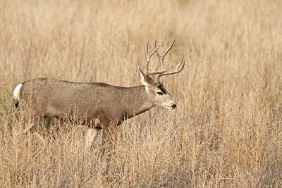 Mule Deer buck Bosque del Apache NWR Socorro NM IMG_0007506 CR2