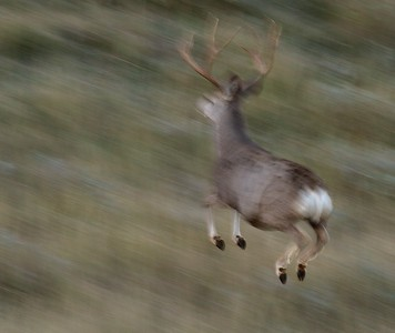 Mule Deer buck running blur TRNP South Unit North Dakota IMG_0008174