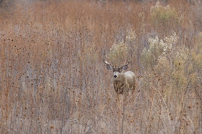 Mule Deer buck [December; Bosque del Apache National Wildlife Refuge, San Antonio, New Mexico]