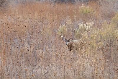 Mule Deer buck Bosque del Apache NWR Socorro NM IMG_0007519 dng