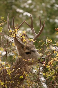 Black Bears aren't the only ones that enjoy a good rose hip meal! This Mule Deer uses its tongue to nab a tasty treat [October; Yellowstone National Park]