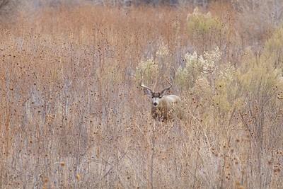 Mule Deer buck Bosque del Apache NWR Socorro NM IMG_0007521 dng
