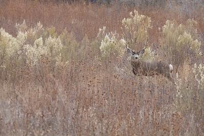 Mule Deer buck Bosque del Apache NWR Socorro NM IMG_0007517 CR2