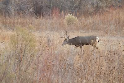 Mule Deer buck Bosque del Apache NWR Socorro NM IMG_0007526 CR2