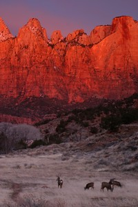 Mule Deer at dawn in a Zion valley [February; Zion National Park, Utah]