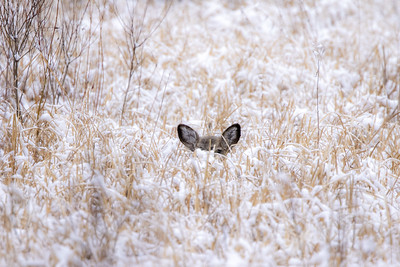 White-tailed Deer laying bedded in snow Carlton County MN  IMGC6358