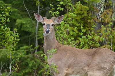 White-tailed Deer buck antlers velvet Nichols Lake Road Sax-Zim Bog MN IMG_8779