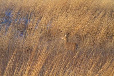 White-tailed Deer Neal Smith National Wildlife Refuge NWR Prairie City IA  IMG_2398