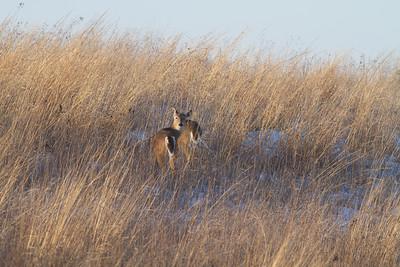 White-tailed Deer Neal Smith National Wildlife Refuge NWR Prairie City IA  IMG_2424