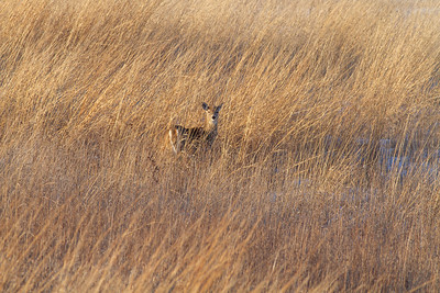 White-tailed Deer Neal Smith National Wildlife Refuge NWR Prairie City IA  IMG_2420
