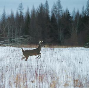 White-tailed Deer Overton Road Sax-Zim Bog MNIMG_5696