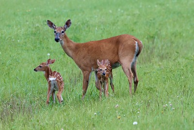 White-tailed Deer and twin fawns CR5 Sax-Zim Bog MN IMG_2480