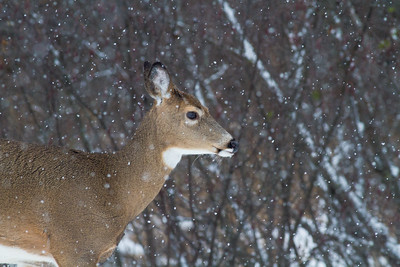 White-tailed Deer in falling snow Correction Line Road CR29-229 Sax-Zim Bog MN IMG_4737