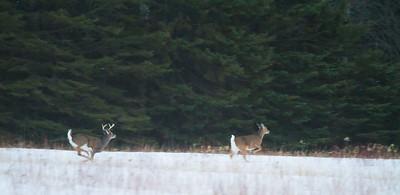 White-tailed Deer Overton Road Sax-Zim Bog MNIMG_5705