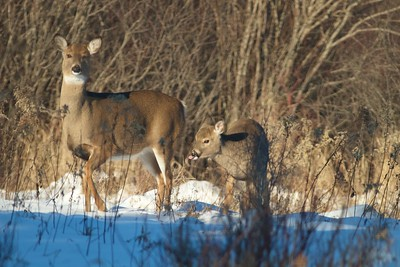 White-tailed Deer and fawn winter Sax-Zim Bog MN IMG_1063