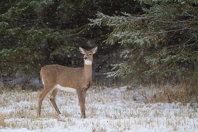 White-tailed Deer in falling snow Correction Line Road CR29-229 Sax-Zim Bog MN IMG_4756